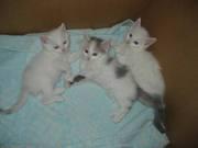 Котики  беленькие